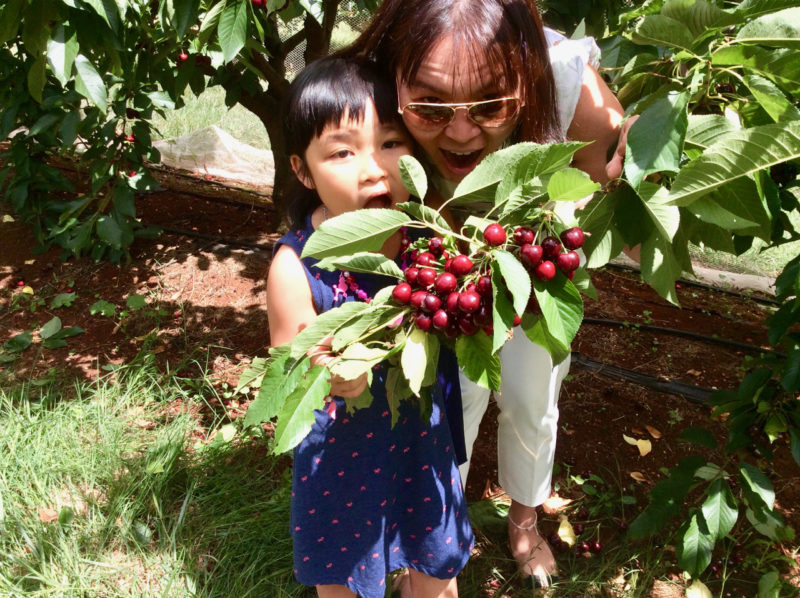 pick your own cherries on a private yarra valley tour